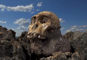 Az Australopithecus sediba holotípusának koponyája. Fotó: National Geographic