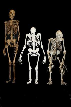 Modern Homo sapiens (balra), Au. sediba (középen) és gorilla (jobbra). Ábra: Wikimedia