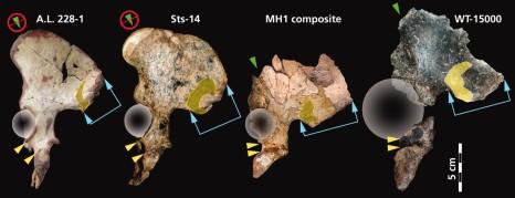 Összehasonlító ábra a medencéről Berger et al 2010 nyomán Balról jobbra: Au. afarensis (AL 288-1), Au. africanus (Sts 14), Au. sediba (MH1), H. erectus (KNM-WT 15000)