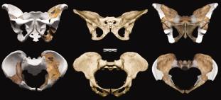 MH1 (balra) és MH2 (jobbra) medenceöve Sts 14-hez viszonyítva (a sterkfonteini Au. africanus). Kibii et al. 2011 nyomán