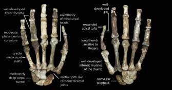 A kézcsontok jellegzetességei.
